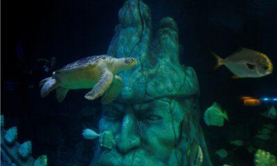 """Avrupa'nın """"en büyük"""" yeşil deniz kaplumbağası İstanbul'da"""