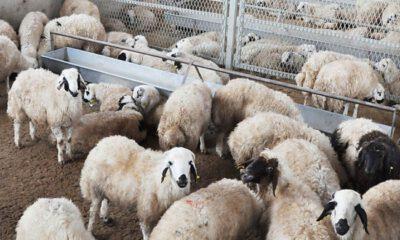 İzmir'de koyun sürüsünde veba salgını: 20 mahalleye karantina!