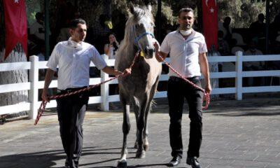 Bursa'da safkan Arap taylarının satışından 3,1 milyon lira gelir