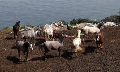 Adalar'daki atların akıbeti belirsizliğini koruyor