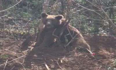 Kapana kısılan ayıyı jandarma kurtardı
